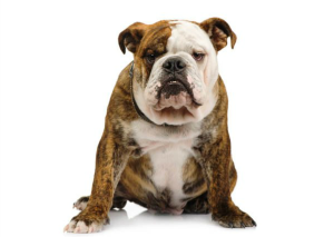 bulldog (1)