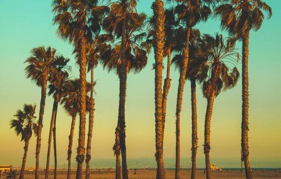 Iconic Palm Trees